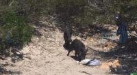 Dall'inizio di stagione i cinghiali di Cala Granara hanno messo a segno diversi colpi, il pranzo di molti turisti è finito nel loro stomaco. Nella giornata di […]